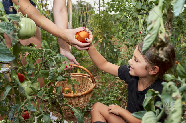 Daughter giving her mother a harvested tomato