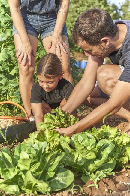 Family harvesting salad in garden