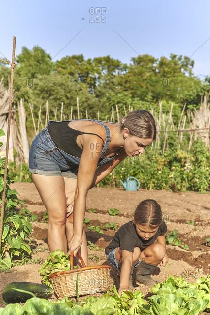 Mother and daughter harvesting lettuce in garden