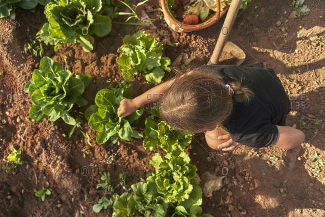 Girl harvesting lettuce in garden- from above