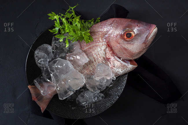 Top view of raw Pagrus major fish arranged with ice cubes and bunch of parsley on table in restaurant