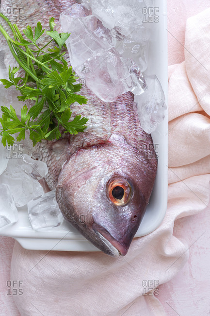 Top view of raw Pagrus major fish in plate with ice cubes and fresh parsley placed on table in cafe