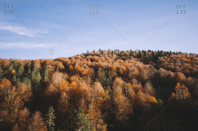 Majestic scenery of trees in Irati Forest in fall in Navarra