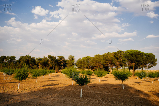 Young green pine trees growing in rows in forestry in sunny summer day with blue cloudy sky