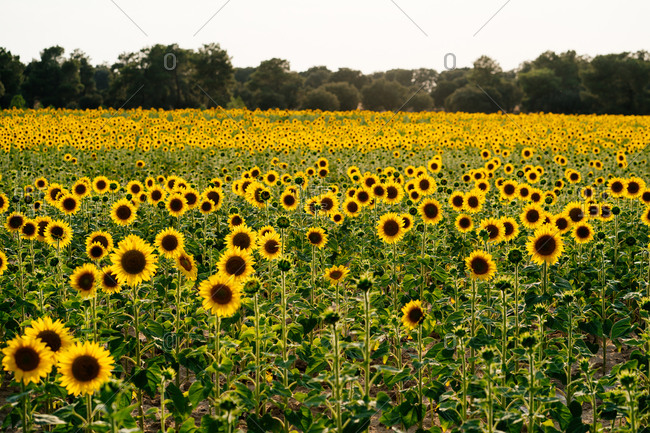 Picturesque landscape of vast agricultural field with blooming yellow sunflowers in summer countryside