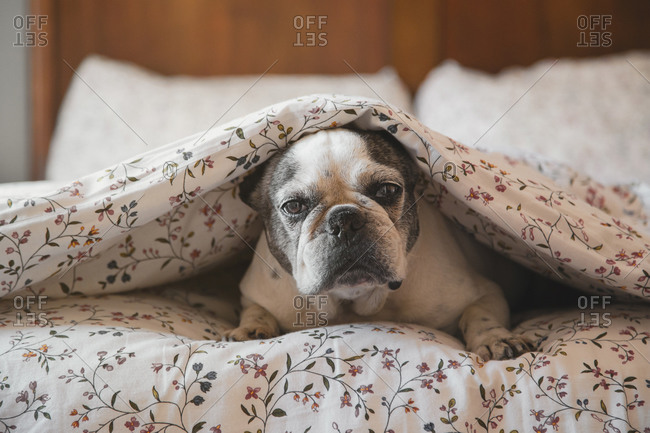 Adorable French Bulldog lying on bed under soft blanket and resting at home while looking at camera