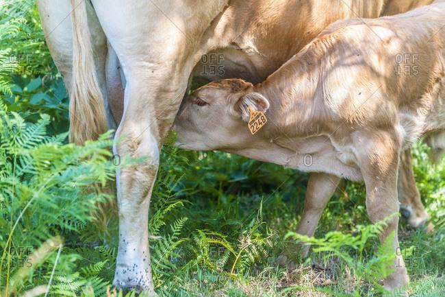 France,  Limousine,  Coreze,  Miginiac hamlet,  Limousine cattle and its calf in a meadow