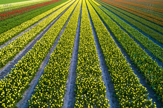 Europe,  Nederlands, tulips fields