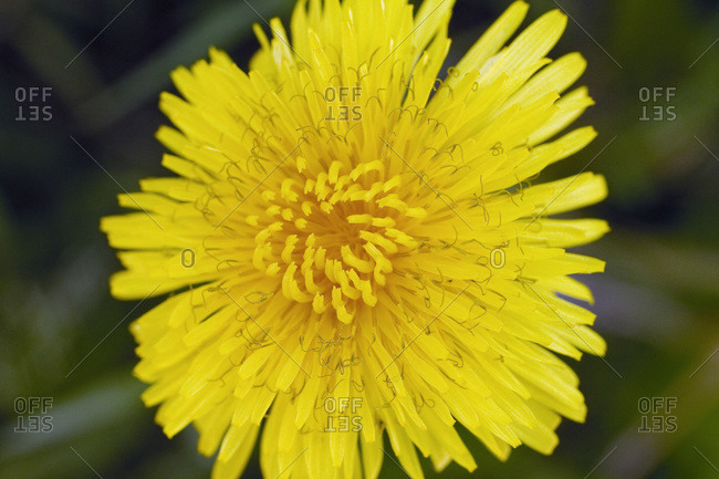 Close-up on a blooming dandelion.