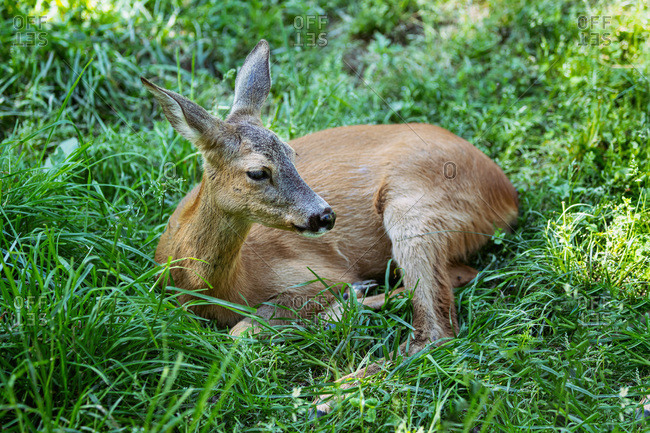 View of a fawn lying in the forest,  Ariege,  Pyrenees,  Occitanie,  France