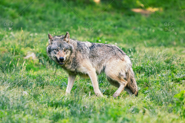 Portrait of a wolf in the nature,  Ariege,  Pyrenees,  Occitanie,  France