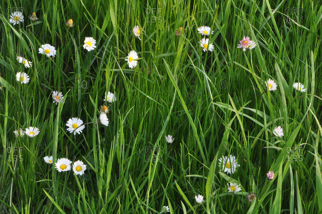 France,  Brittany,  Taupont,  daisies of flowering meadows,  perennial plant of the family Bellis perennis,  Asterraceae,  in a sunny garden with herbs in the background in spring