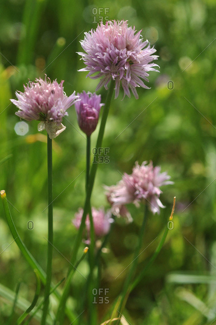 France,  Brittany,  Taupont,  chives in bloom,  perennial plant of the family Allium schoenoprasum