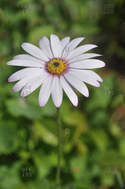 France,  Brittany,  Taupont,  close-up of white flowers