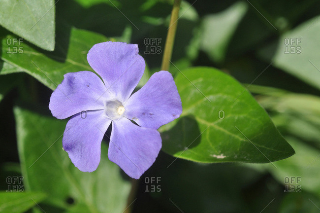 France,  Brittany,  Taupont,  periwinkle vinca L.,  creeping blue perennial plant of the family Apocynaceae