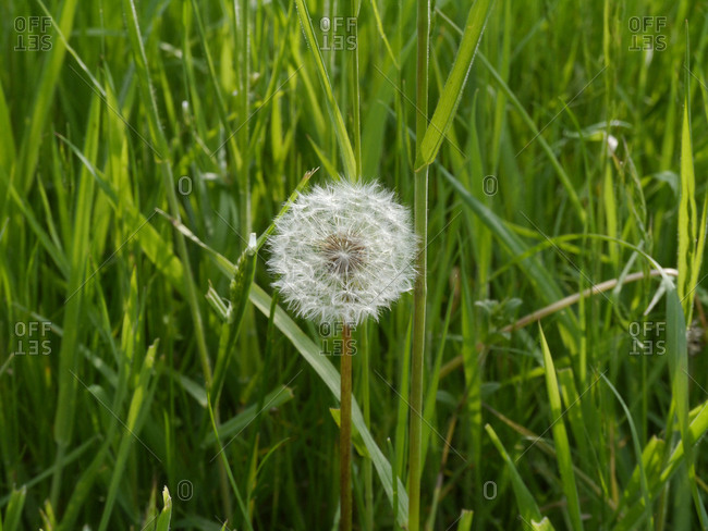 France,  Brittany,  Taupont,  dandelion flower in seeds in a garden,  egrets,  dent-de-lion,  with tall grass in the background.