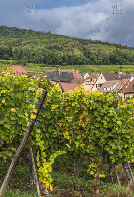 France,  Alsace,  Wine Route,  vineyard and village of Hunawihr (Most beautiful village in France)