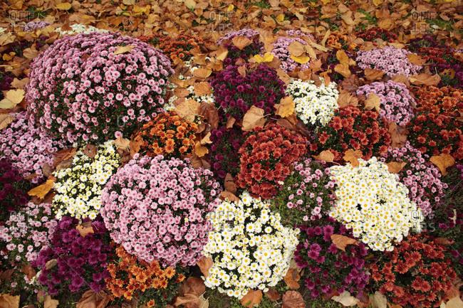 France,  Paris,  75,  14th arrondissement,  Montparnasse Cemetery,   chrysanthemums.