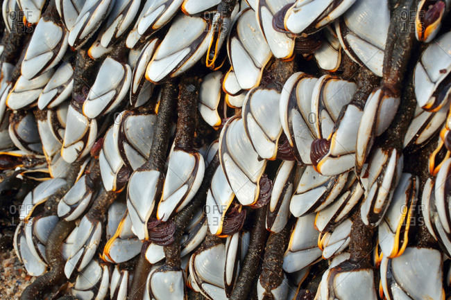 France,  Les Moutiers-en-Retz,  44,  barnacles hanging on a beacon stranded on the beach after a storm.