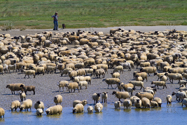 France - May 25,  2020: France,  Hauts de France,  Somme. Somme Baie. Flock of sheep on salt meadows