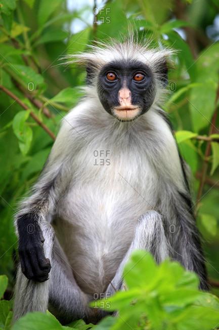 Tanzania,  Zanzibar (Unguja island),  Jozani forest,  colobus monkey.