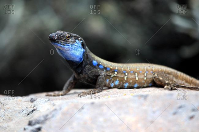 Spain,  Canary islands,  La Palma,  lizard