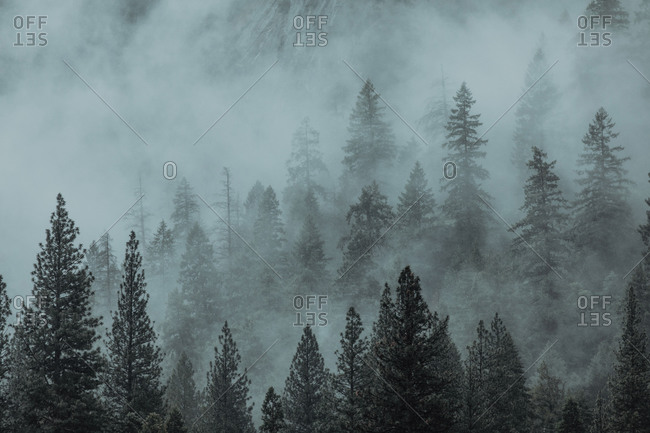 Fog covering valley of fir trees, Yosemite National Park, California, United States