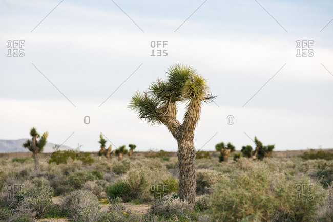 Joshua tree in desert landscape, Olancha, California, US