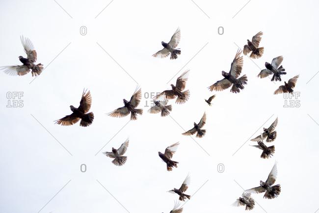 Flock of birds flying in clear sky