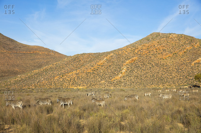 Dazzle of zebras grazing in nature reserve, Touws River, Western Cape, South Africa