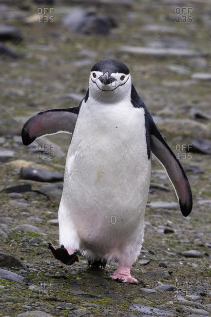 Chinstrap penguin (Pygoscelis antarcticus), Half Moon Island, Antarctica