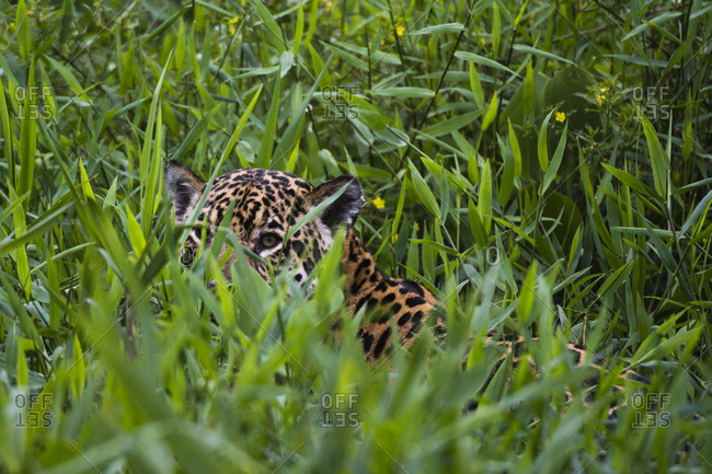 Jaguar (Panthera onca) hiding behind tall grass, Cuiaba River, Pantanal, Mato Grosso, Brazil