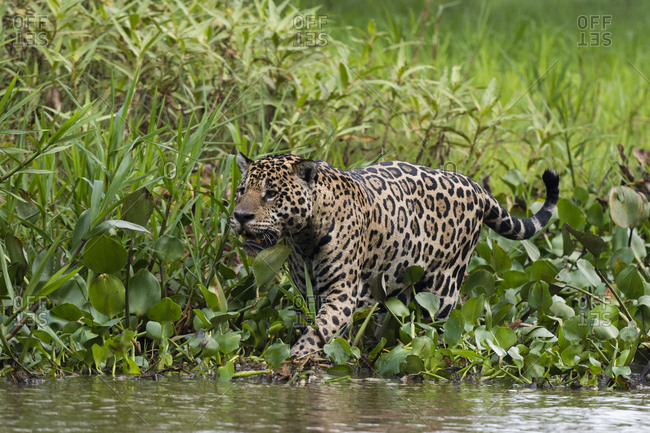 Jaguar (Panthera onca) walking along Cuiaba River bank, Pantanal, Mato Grosso, Brazil
