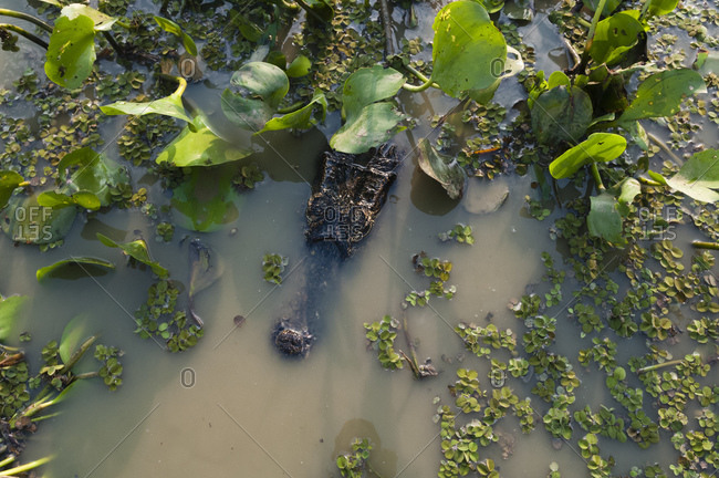 Crocodile swimming in Cuiaba River, Pantanal, Mato Grosso, Brazil