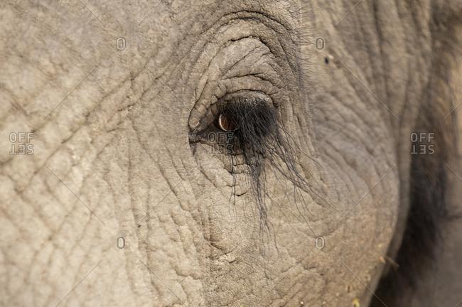 Eye of African elephant (Loxodonta africana), Abu Camp, Okavango Delta, Botswana