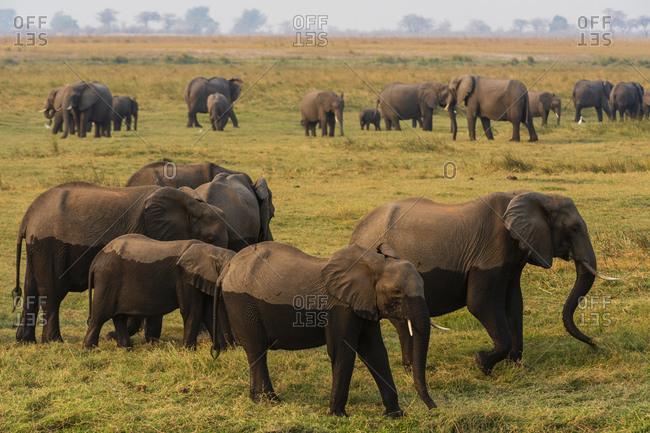 Herd of African elephants (Loxodonta africana) grazing, Chobe National Park, Botswana
