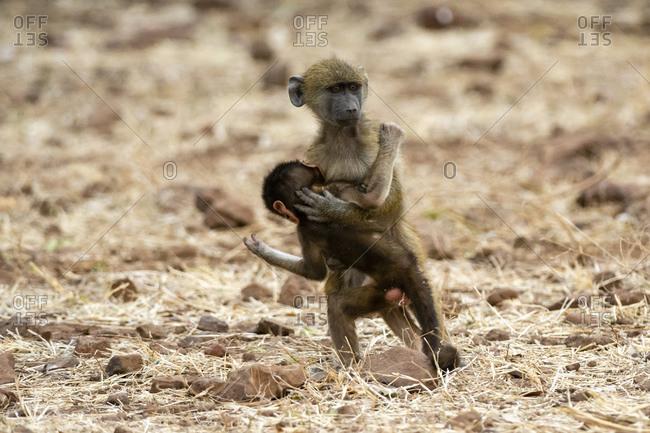 Chacma baboon (Papio ursinus) and infant, Chobe National Park, Botswana