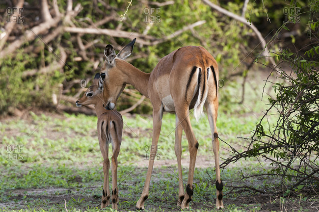 Impala (Aepyceros melampus) and calf, Chobe National Park, Botswana