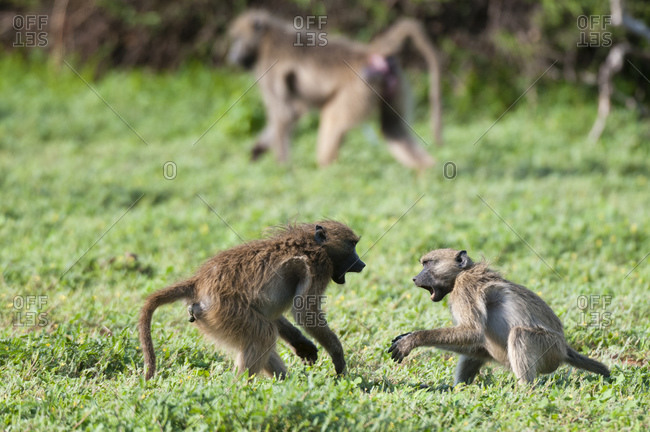 Chacma baboons (Papio ursinus) fighting, Chobe National Park, Botswana