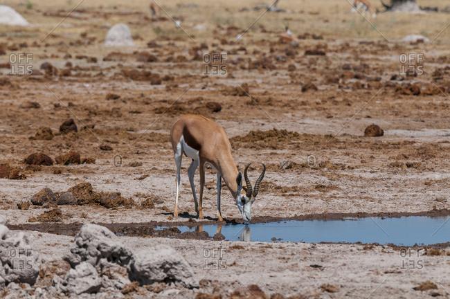 Springbok (Antidorcas marsupialis) drinking at waterhole, Nxai Pan National Park, Botswana