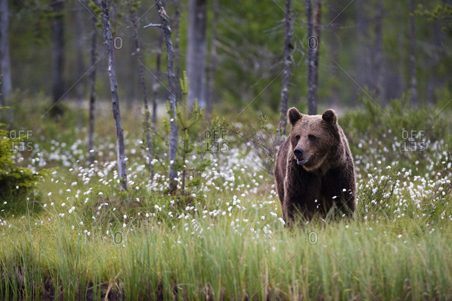 European brown bear (Ursus arctos) walking in meadow of blooming cotton grass, Kuhmo, Finland
