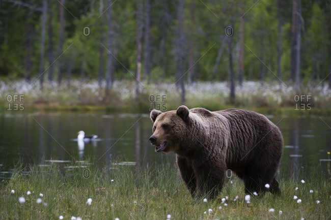 European brown bear (Ursus arctos) walking along lake shore, Kuhmo, Finland