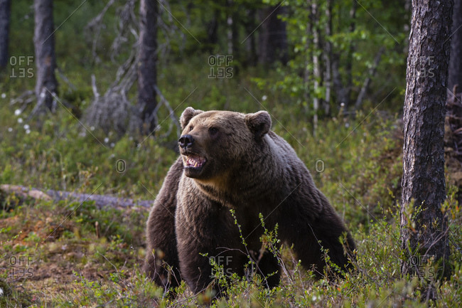 European brown bear (Ursus arctos) walking in forest, Kuhmo, Finland