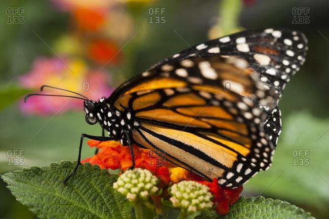 Monarch butterfly (Danaus plexippus), La Paz Waterfall Gardens, Vara Blanca, Costa Rica