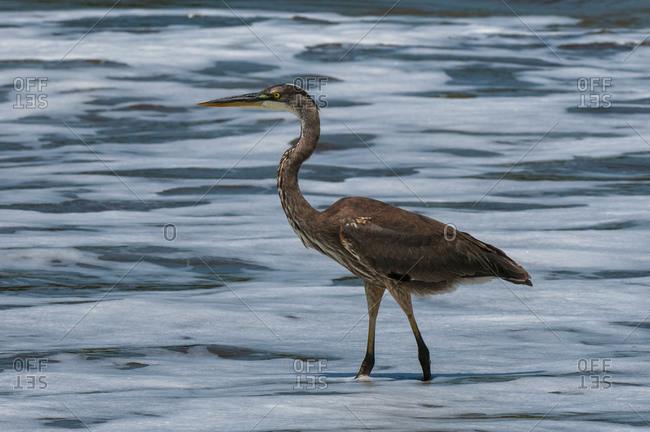 Great blue heron (Ardea herodias), Drake bay, Osa peninsula, Costa Rica