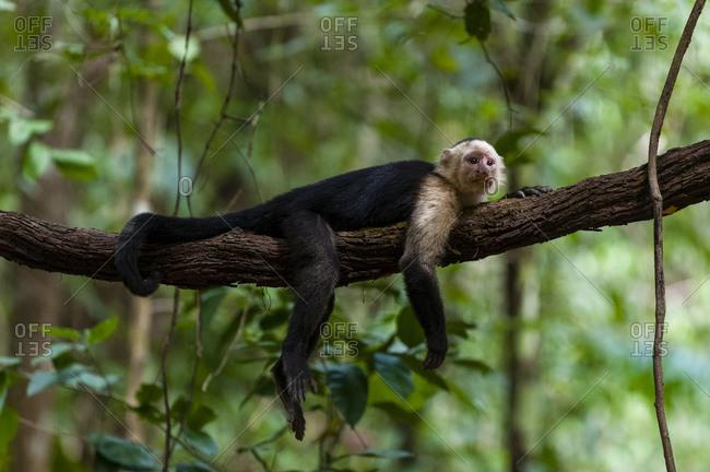 White-faced Capuchin monkey (Cebus capucinus), Curu Wildlife Reserve, Costa Rica