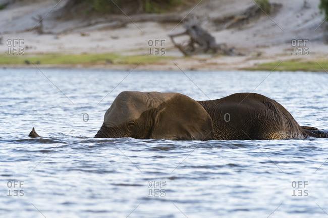 African elephant (Loxodonta africana) in river Chobe, Chobe National Park, Botswana