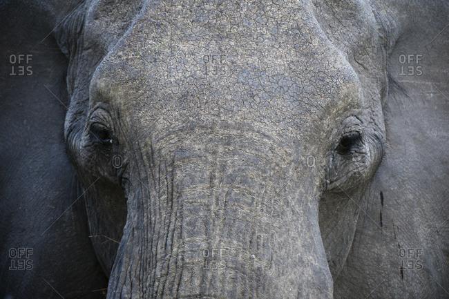 Close up of African elephant (Loxodonta africana), Savuti marsh, Chobe National Park, Botswana