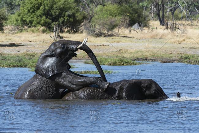 Two African elephants (Loxodonta africana) sparring in river Khwai, Khwai concession, Okavango delta, Botswana