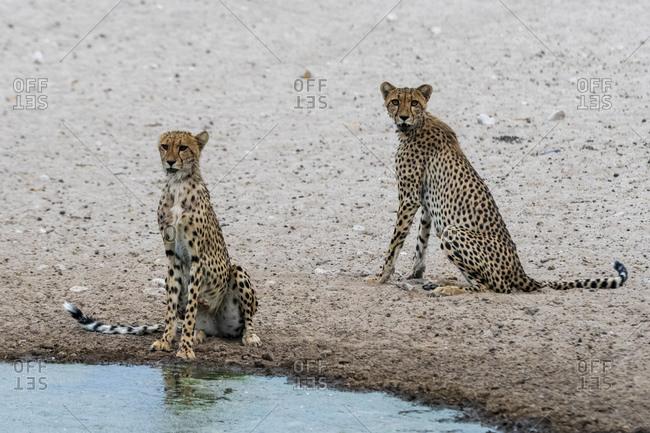 Two cheetahs (Acinonyx jubatus) drinking at waterhole, Kalahari, Botswana